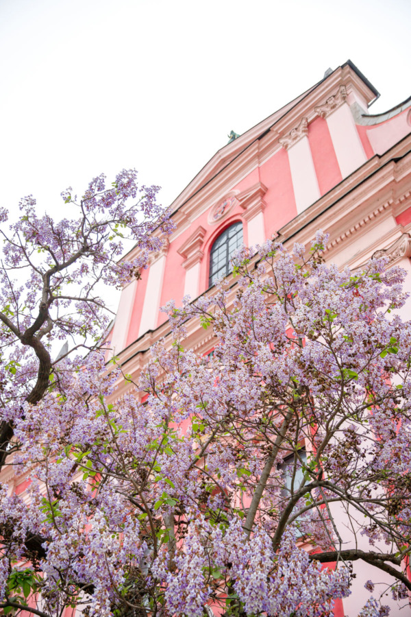 The Franciscan Church in Ljubljana, Slovenia is a gorgeous pink building with purple wisteria flowers blooming in springtime