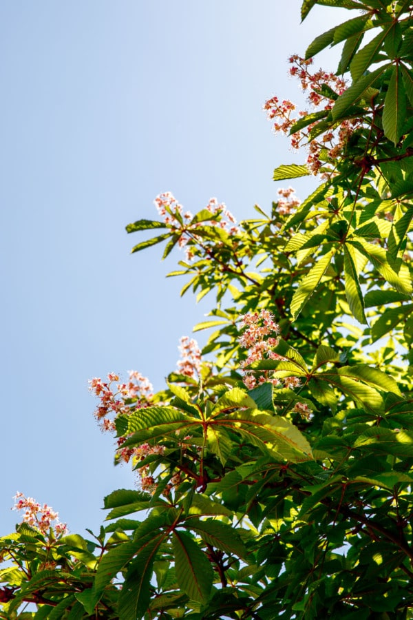 Pretty flowering tree with pink flowers against a blue sky