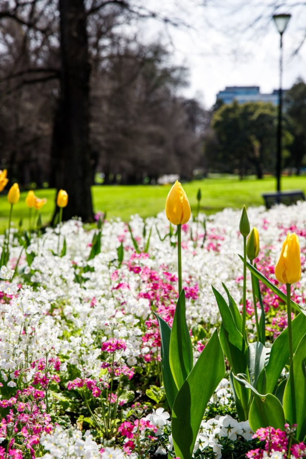 Spring tulips and flowers in Fitzroy Gardens, Melbourne, Australia