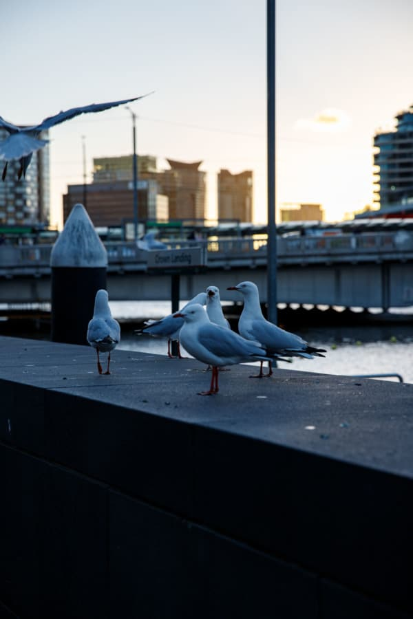 Seagulls along the riverfront at sunset, Melbourne, Australia