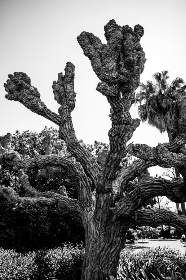 Black and white old knarled tree at Royal Botanic Gardens, Melbourne, Australia