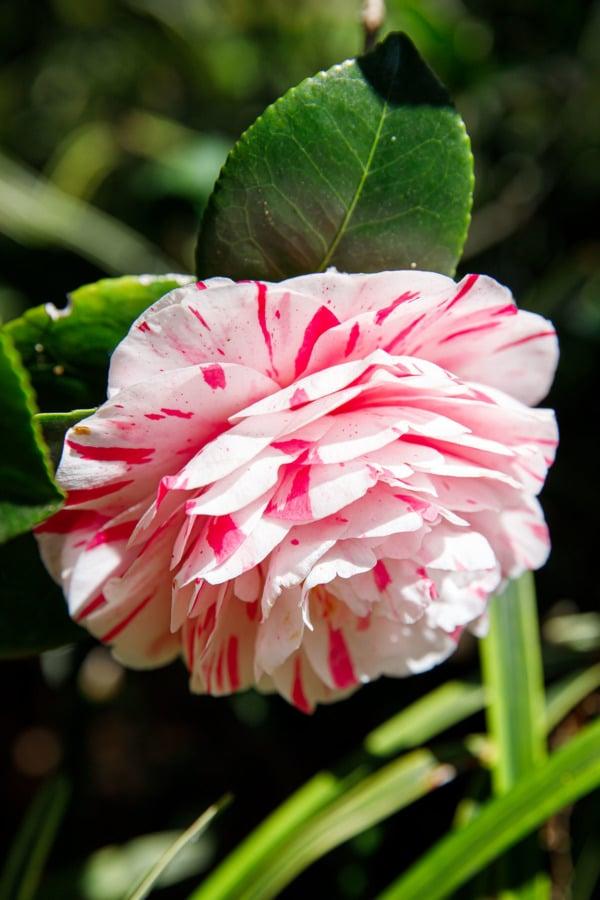 Camellia flower in Royal Botanic Gardens, Melbourne, Australia