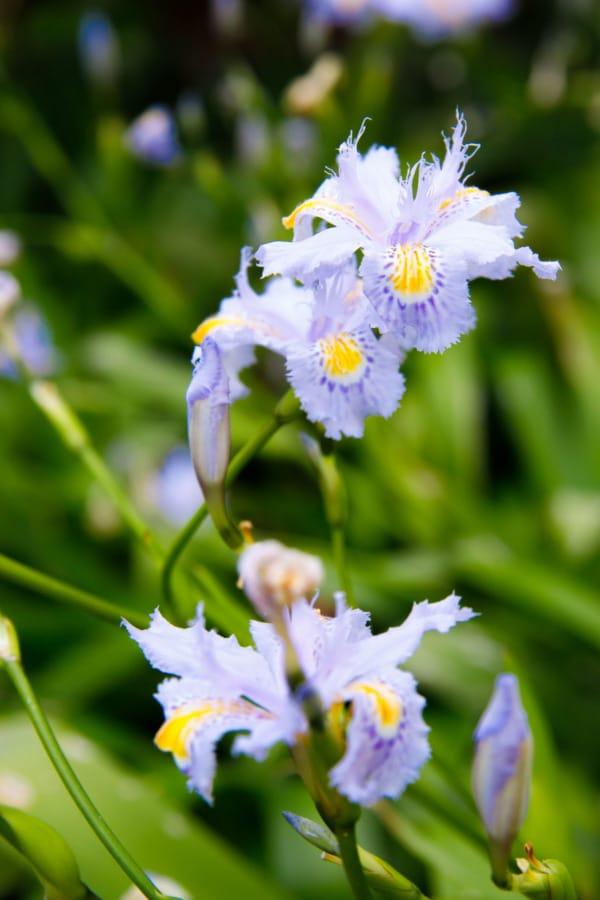 Light purple Iris flowers in Royal Botanic Gardens, Melbourne, Australia